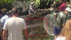 GOD BLESS!  Rescuers save female manatee and her calf from a ditch in Florida, where they had been trapped since Hurricane Hermine.
