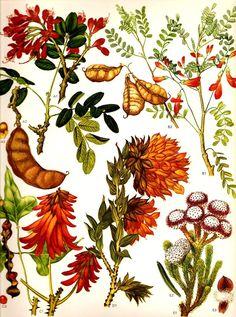 Tree Fuchsia Legume Flowers South Africa Botanical Exotica Large Vintage Illustration To Frame 72 Vintage Flower Prints, Vintage Botanical Prints, Antique Prints, Vintage Flowers, Vintage Art, Botanical Art, Etsy Vintage, Colorful Plants, Exotic Plants
