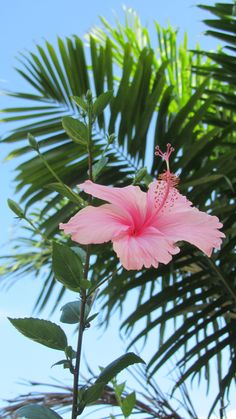 Pink hibiscus and palms