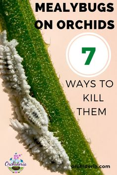 Mealybugs on Orchids: 7 Remedies to Eliminate Them For Good — Orchideria Orchid Plant Care, Orchid Leaves, Orchid Plants, Indoor Orchids, Orchids Garden, Planting Succulents, Planting Flowers, Potted Plants, Flowers