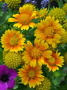 When summer heat kicks in, you can rely on these drought-resistant flowering plants to hold their own and still produce beautiful blooms and foliage. Drought Resistant Plants, Drought Tolerant, Arizona, Garden Shrubs, Garden Plants, Walkway Garden, Sun Garden, Cut Flowers, Beautiful Flowers