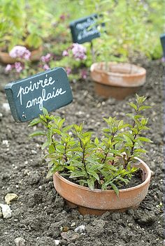 Canaliser la menthe - Menthe poivrée / Laurie Hego / Rustica / Jardin des Remparts - Jardin Herbarium