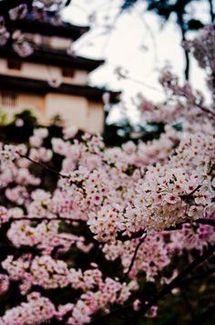 wishespleasures Sakura at Shimabra Castle (By Julian)
