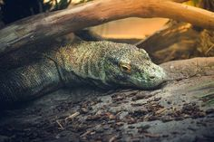 Komodo Dragon on the Rocks