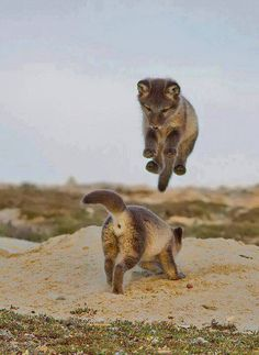 Boing! Little wolves playing <3