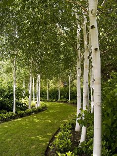 Garden Design Backyard Garden With White Birch Trees : Enchanting Beauty Birch Trees In Your Garden.Garden Design Backyard Garden With White Birch Trees : Enchanting Beauty Birch Trees In Your Garden Landscape Architecture, Landscape Design, Landscape Plans, White Birch Trees, Birch Forest, Garden Trees, Garden Path, Flowers Garden, Shade Garden