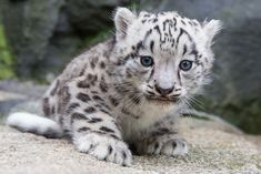 This blue-eyed bundle of fluff is new at Berlin Zoo! Meet Kitai the Snow Leopard on ZooBorns.com and at http://www.zooborns.com/zooborns/2017/08/meet-kitai-the-endangered-snow-leopard-cub.html