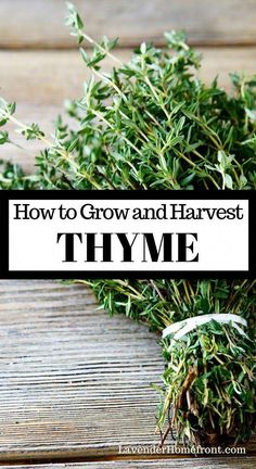 Learn the basics of growing and harvesting thyme. This hardy herb is perfect for the beginner gardener and goes great with so many dishes. Plant a thriving herb garden this year. garden Growing and Harvesting Thyme Aromatic Herbs, Medicinal Herbs, Growing Herbs, Growing Vegetables, Gardening For Beginners, Gardening Tips, Small Herb Gardens, Herb Garden Design, Box Garden