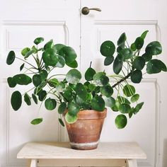 When I first had my Pileas I wanted them to be perfect with big flat green leaves growing up straight. I still think those Pileas are… Planting Succulents, Potted Plants, Garden Plants, Indoor Plants, Planting Flowers, Inside Plants, Cool Plants, Pilea Peperomiodes, Green Leaves