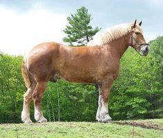 Biggest horse in the world, Zeus.