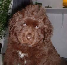 Bildergebnis für newfoundlander pups bruin