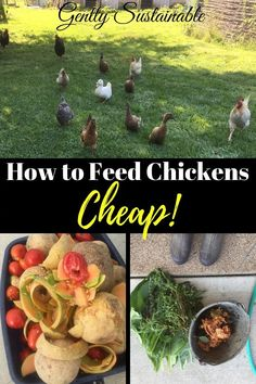 Baby chicks raising - How to Feed Chickens Cheap – Baby chicks raising Urban Chickens, Baby Chickens, Raising Chickens, Free Chickens, Backyard Poultry, Backyard Farming, Chickens Backyard, Portable Chicken Coop, Diy Chicken Coop