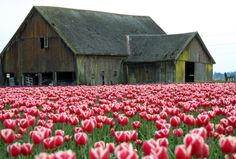 pink tulips- I think these are my fav flower