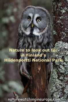 Hiidenportti National Park in the east of Finland is a great place for hiking and nature-watching, especially in May, June and July. Willow Warbler, Picea Abies, Dwarf Shrubs, Finland Travel, See The Northern Lights, Traditional Landscape, Backpacking Europe, Pine Forest, Tree Tops