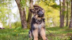 🐾 Fun Fact Friday 🐾 We all know that dogs can sense our emotions, whether happy, sad or angry, but now researchers have found that they can also tell when you're lying, and will stop following the cues of someone they deem untrustworthy. ▬▬▬▬▬▬▬▬▬▬▬▬▬▬▬▬▬▬▬ #GermanShepherd #Friday #FunFact #Puppies #PuppyLove #BuckeyePuppies www.BuckeyePuppies.com