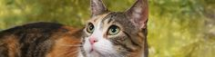 Article on feline nutrition:   Because nutrition is one of the most important keys to your cat's health and longevity, one of your most important responsibilities as a cat owner is to provide your cat with the necessary nutrients required for its growth and maintenance. To do this, it is first necessary to understand what cats need in their diet. (Cornell Feline Health Center)