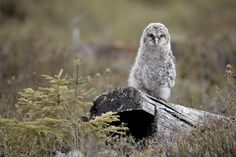 Ural owl Pinned by www.myowlbarn.com