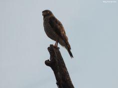 Gavião-carijó (Rupornis magnirostris) fotografado em São José do Rio Pardo/SP em Outubro/14.