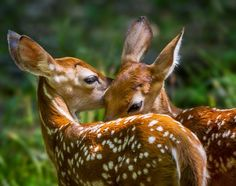 Little ones - spotted baby fawns