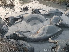 Using the mud for protection from the sun and flies, a group of water buffalos wallow in a mud hole in Southeast Asia at dusk