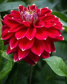Dahlia 'Little Miss Muffet'