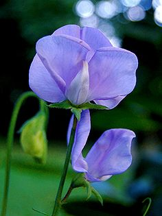 Lathyrus odoratus 'Lady Grisel Hamilton'. Subtle & lovely Sweetpea boasts the heat tolerance & heady fragrance of her other old fashioned compatriots. Blooms come three or four to each long stalk & are excellent cut flowers. The simple & unruffled blooms are the typical smallish heirloom size & a clear, soft purple in hue. Keep flowers cut, or deadheaded, to encourage a long season of bloom! Rich soil is best. Self sows!