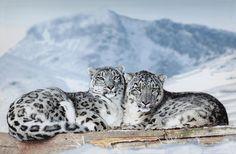 Snow Leopard - Taken in a Animal Conservancy Park