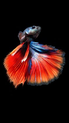 Summary: Many people are delighted by keeping live and colorful tropical fish at their home. Countless species of fish are kept at home as pets. There are several Tropical fish online stores that sell tropical fish online. Pretty Fish, Beautiful Fish, Beautiful Pictures, Betta Fish Tank, Aquarium Fish Tank, Colorful Fish, Tropical Fish, Fish Fin, Fish Breeding