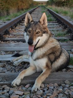 Silver czechoslovakian wolfdog - photo#20