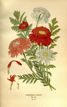 https://flic.kr/p/h7uMge | n228_w1150 | Favourite flowers of garden and greenhouse /. London and New York :Frederick Warne & co.,1896-97.. biodiversitylibrary.org/page/36443935