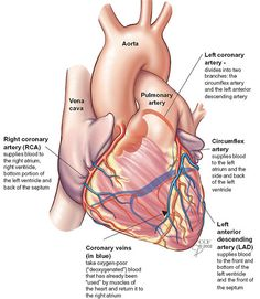 Looking at the outside of the heart, you can see the heart is made of muscle. The strong muscular walls contract (squeeze), pumping blood to the arteries.