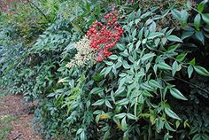 Nandina Domestica Shrub  Heavenly Bamboo  Healthy Plant  2 12 Potted Shrub  3 Pack ** Check this awesome product by going to the link at the image.
