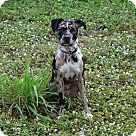 Check out Kahlua, an adoptable Catahoula Leopard Dog/American Staffordshire Terrier Mix on Adopt-a-Pet.com.
