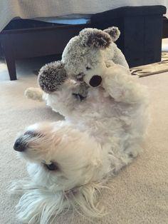 Bentley   Maltese   Puppy Love