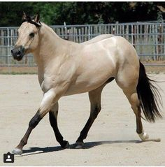 buckskin paint horses for sale All The Pretty Horses, Beautiful Horses, Animals Beautiful, Types Of Horses, Horses And Dogs, American Quarter Horse, Quarter Horses, Dun Horse, Buckskin Horses