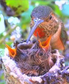 https://flic.kr/p/mCE7mF | Hummingbird feeding babies