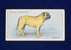 1937 Mastiff dog portrait Wills cigarette trading card, England. Art by famous painter Arthur Wardle. Vintage cigarette trading cards are fun