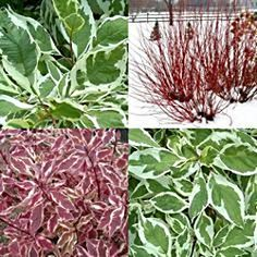 Dogwood, Red Twig 'Ivory Halo' (variegated) Cornus Alba 'bailhalo' Part to full sun Rounded form feet tall and wide American native Inconspicuous white bloom Dogwood Shrub, Red Twig Dogwood, Shrub Roses, Red Shrubs, Trees And Shrubs, Ivory Halo Dogwood, Foundation Planting, Front Yard Landscaping