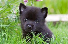 Kai Ken - health (puppies)