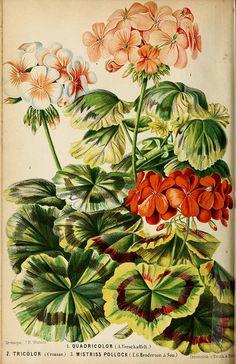 Pelargonium zonale (L.) L'Hérit. var. hort. Oudemans, C.A.J.A., Neerland's Plantentuin, vol. 3: t. 38 (1865-1867)
