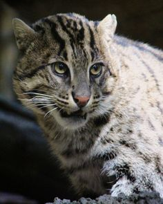 Fishing Cat (Prionailurus viverrinus) The front toes are webbed and the front claws do not fully retract;adaptations to catching fish.It is greyish-brown with black bars running along their neck and face,and dark brown spots in rows on their body.