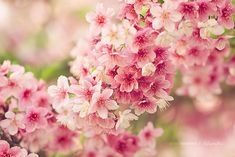 Japanese cherry blossoms, Sakura 桜 spring is coming Flowers Nature, My Flower, Spring Flowers, Beautiful Flowers, Tropical Flowers, Flower Art, Bloom, Blossom Trees, Cherry Blossoms