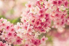 Los cerezos en flor más bella de todo el mundo | Bored Panda