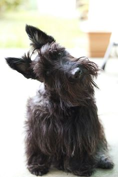 Scottish Terriers are wonderful! A perfect head tilt!