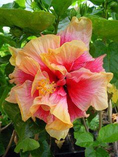 Hibiscus 'Saving Grace'