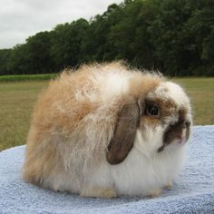 Breed: American Fuzzy Lop.  Comes in tones of colors. Must be compact as shown with even fuzziness around body. Cooot!