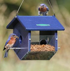 My Thanksgiving treat was #bluebirds in the yard yesterday in NH -- going to restock mealworms and bluebird nuggets!