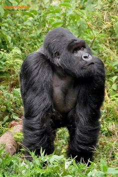 Tips and guidelines to keep in mind when planning a gorilla trekking adventure in Rwanda. Everything you need to know when planning your trip to Africa. Uganda Travel, Africa Travel, Regard Animal, Gorilla Trekking, Mountain Gorilla, African Safari, Travel Photos, Travel Tips, Travel Articles