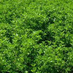 Alfalfa is a simple power house herb that is high in many nutrients and helps cleanse the blood. It is a good source of Vitamins C, E and K. Herbs For Health, Healthy Herbs, Healthy Water, Healthy Foods, Herbal Remedies, Natural Remedies, Health And Nutrition, Health And Wellness, Health Tips