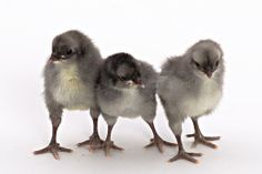 Andalusian Chickens - Google Search
